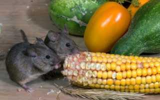 Защита деревянного дома от мышей и насекомых – современные и народные методы